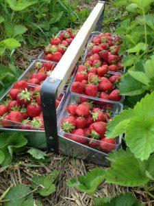 Flat of strawberries